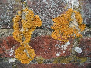 Lichen on roof tile